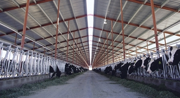 Inside view of a stable with black and white cows.